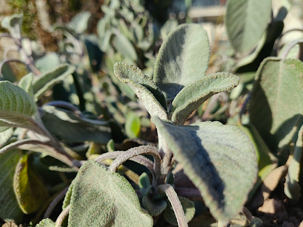 Sage: a remedy for everything, or almost everything